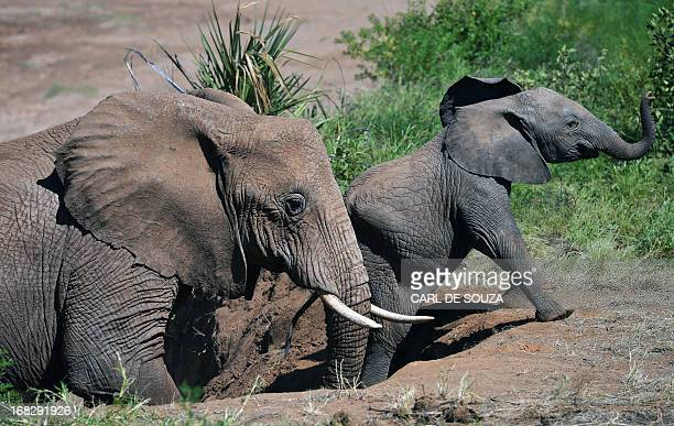 An elephant helps an elephant calf up a slope after fording the Ewaso Nyiro river in Samburu game reserve on May 8 2013 UNEP goodwill ambassador and...