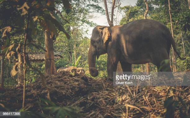 an elephant in ko chang, thailand. - asian elephant stock pictures, royalty-free photos & images