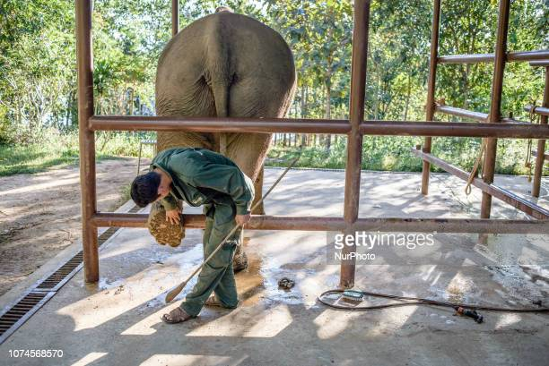 An elephant is on a daily examination at the hospital in the Elephant Conservation Center Sayaboury Laos in December 2018 Laos was known as The land...