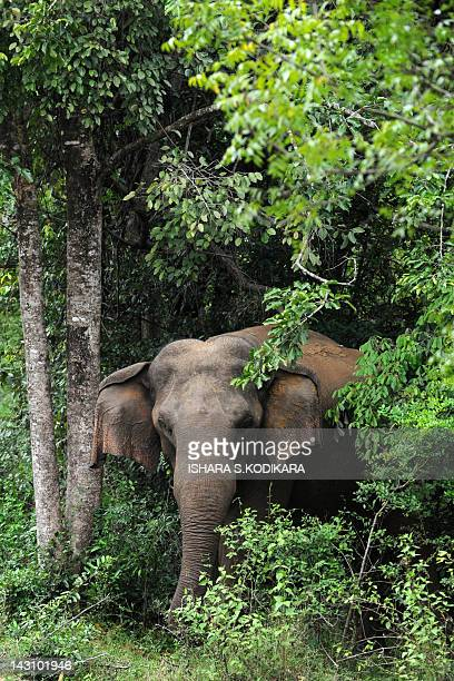 An elephant is photographed from a motorway near a wildlife preservation in Habarana on April 19, 2012. A little more than 7,300 wild elephants roam...