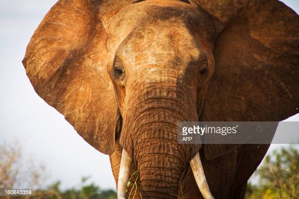 An elephant is pictured in Tsavo East National Park in southern Kenya on January 31 2013 Wildlife protection groups have expressed concern that the...