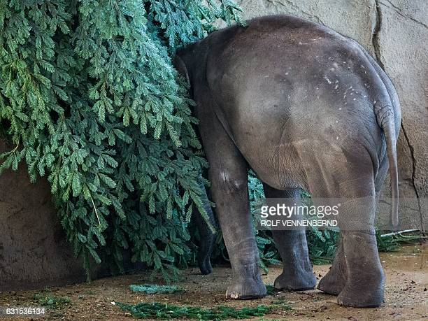 An elephant is pictured on January 12, 2017 in a Zoo in Cologe. / AFP / dpa / Rolf Vennenbernd / Germany OUT