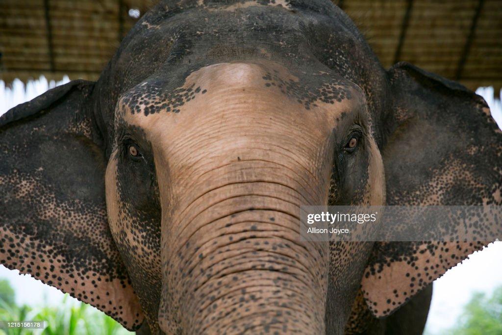 Elephants in Thailand's Safari Park Face Food Shortage Amid The Coronavirus Pandemic : News Photo