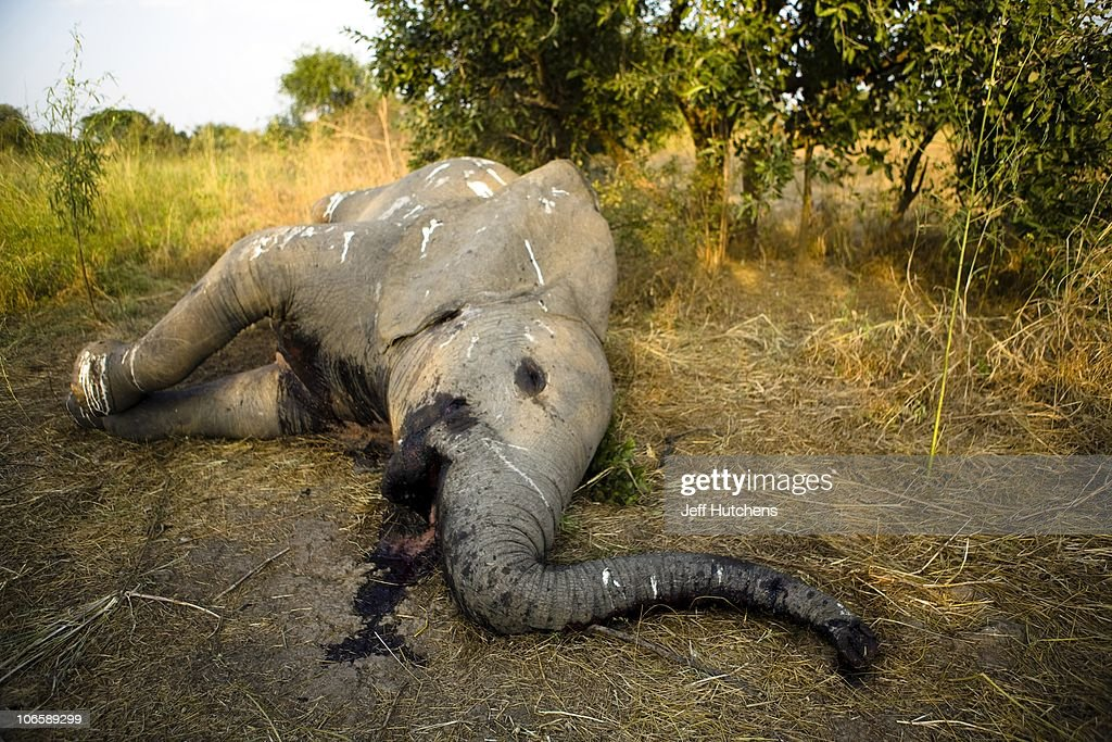 The Ivory Wars: The Fight Against Elephant Poaching in Central Africa : News Photo
