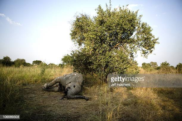 An elephant lies dead in the grasslands of Zakouma National Park under the shade of a tree after poachers fired automatic weapons into a herd of...