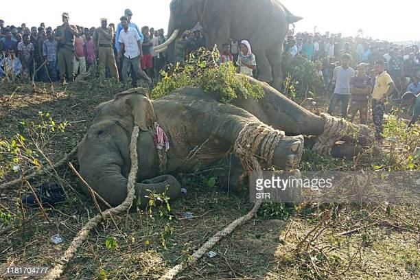 TOPSHOT An elephant lies on the ground after been tranquilised by villagers as it killed five people in Rongjuli forest division in Western Assam's...