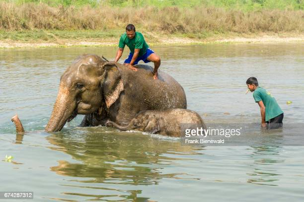 An elephant mother and her baby are getting washed by their mahouts in the Rapti River in Chitwan National Park.