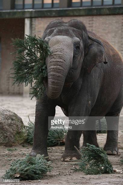 An Elephant munchs on Christmas trees in her enclosure at Berlin's Zoologischer Garten zoo on January 4 2013 in Berlin Germany Traditionally the...