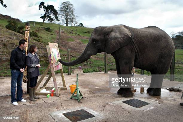 An elephant named 'Five' aged 13 paints a portrait of Lottie and Adam Smith at the West Midlands Safari Park