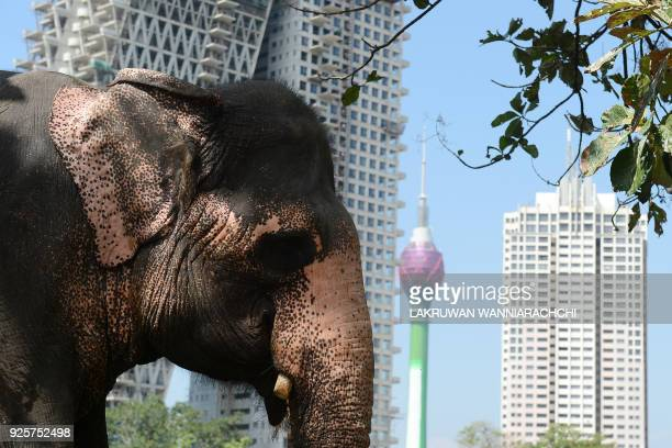 An elephant next to his Sri Lankan mahout ahead of a religious procession in Colombo on March 1 2018 Some 30 elephants most of them from central Sri...