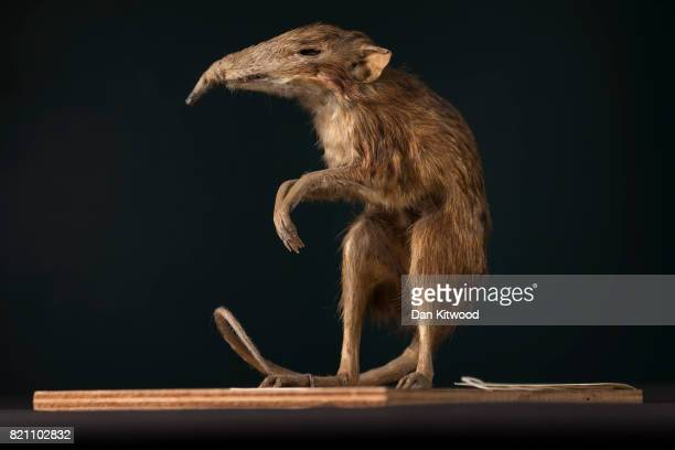 An elephant shrew is pictured at UCL's Grant Museum of Zoology on July 17 2017 in London England Conservation work has yet to be undertaken on the...