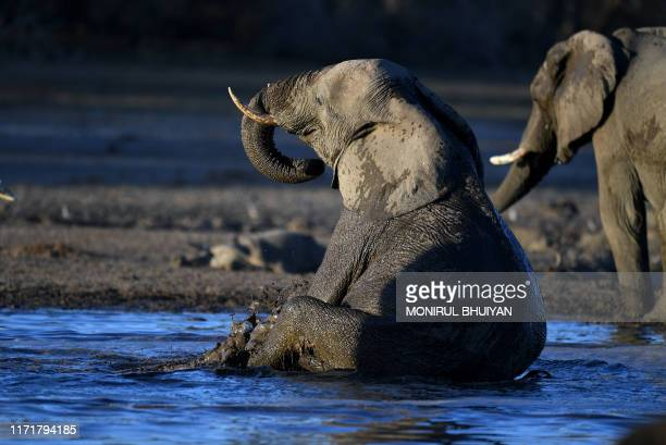 TOPSHOT An elephant sits in the water in one of the dry channel of the wildlife reach Okavango Delta near the Nxaraga village in the outskirt of Maun...