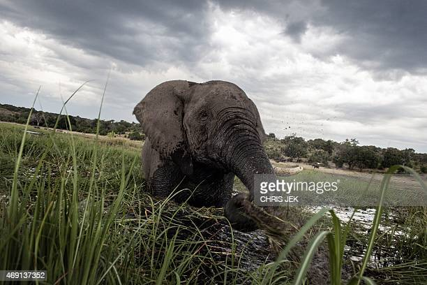 An elephant splashes at sunset in the waters of the Chobe river in Botswana Chobe National Park in the north eastern of the country on March 20 2015...