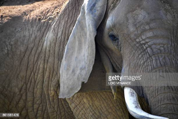An elephant stands in its enclosure at the La Planete Sauvage zoological park in PortSaintPere western France on October 14 2017 / AFP PHOTO / LOIC...