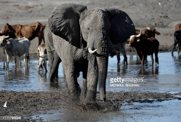 An elephant stands in one of the dry channel of the wildlife reach Okavango Delta near the Nxaraga village in the outskirt of Maun on 28 September...