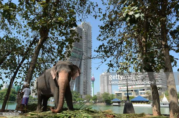 An elephant stands next to his Sri Lankan mahout ahead of a religious procession in Colombo on March 1 2018 Some 30 elephants most of them from...