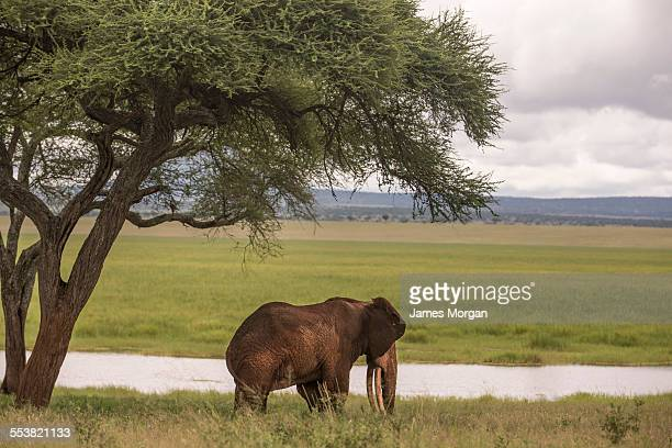 an elephant stands under a tree - tarangire national park stock pictures, royalty-free photos & images