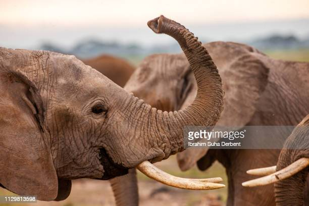 an elephant together with its herd in a side medium close-up - elephant head stock-fotos und bilder
