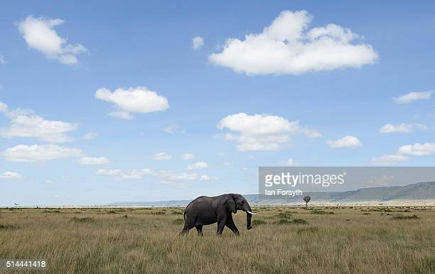 An elephant walks across the open plains of the Maasai Mara National Reserve on February 29 2016 in Talek Kenya The east African country covers...
