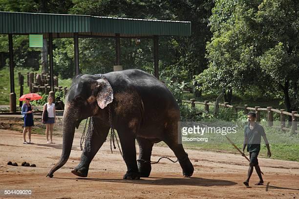 An elephant walks through the Pinnawala Elephant Orphanage, established by the Sri Lanka Department of Wildlife Conservation , in Pinnawala village,...