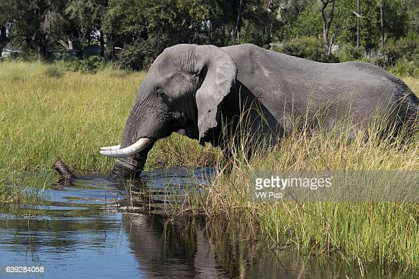An elephant wanders the camp nearby Eagle Island Camp by Orient Expressoutside the Moremi Game Reserve in Botswana Located in the Central Okavango...