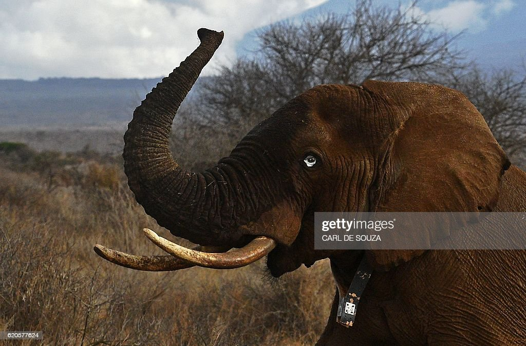 An elephant wearing a fitted electronic collar gets up after its tranquilizer was reversed by vets at the Amboseli National Park on November 2, 2016. The International Fund for Animal Welfare (IFAW) is collaring two young male elephants from the Amboseli region to better understand their migration routes. As Kenya's population increases dramatically every year more land traditionally used by elephants as routes is being populated and developed and elephants have been impacted. IFAW intends to study data from the collared elephants movements to plot how this impact affects them. / AFP / CARL