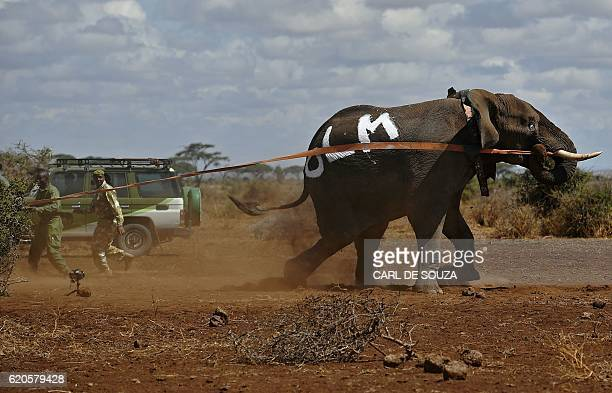 An elephant wearing a fitted electronic collar gets up after its tranquilizer was reversed by vets at the Amboseli National Park on November 2 2016...