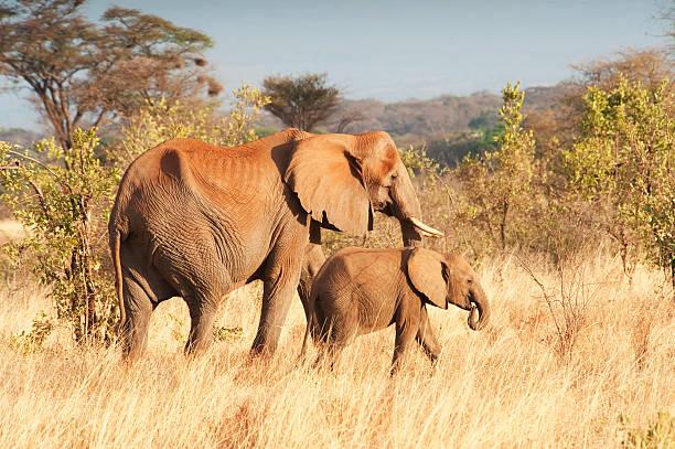 An Elephant With Her Calf Wall Art