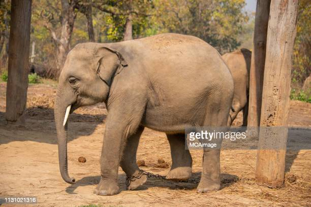 an elephant,scenery of nepal - indian elephant stock pictures, royalty-free photos & images