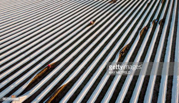 TOPSHOT An elevated view shows workers on a asparagus field in Lehnin eastern Germany on May 25 2018 The harvesttime of asparagus runs until June 24...