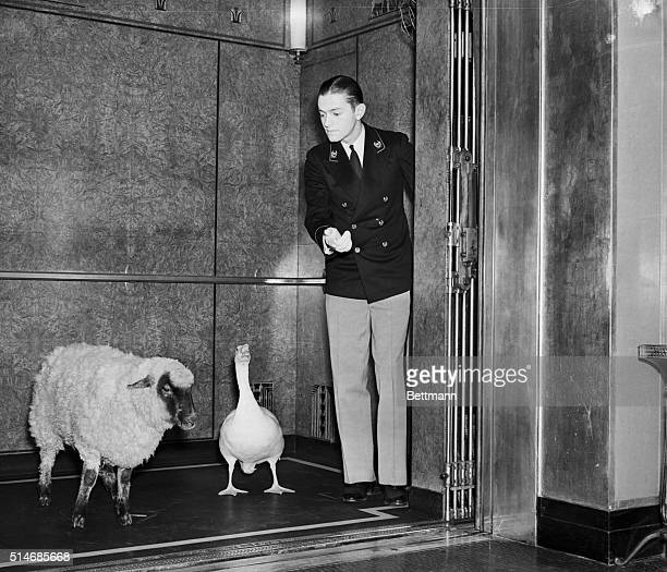 An elevator operator takes a sheep and goose for a ride in the Waldorf-Astoria Hotel.