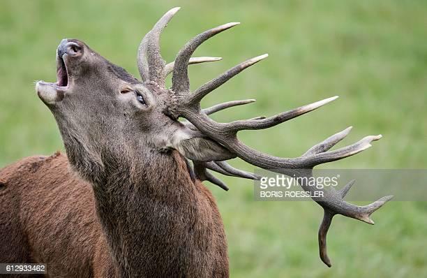 An Elk bells in an animal Park in Hanau KleinAuheim near Frankfurt center Germany on October 06 2016 / AFP / dpa / Boris Roessler / Germany OUT