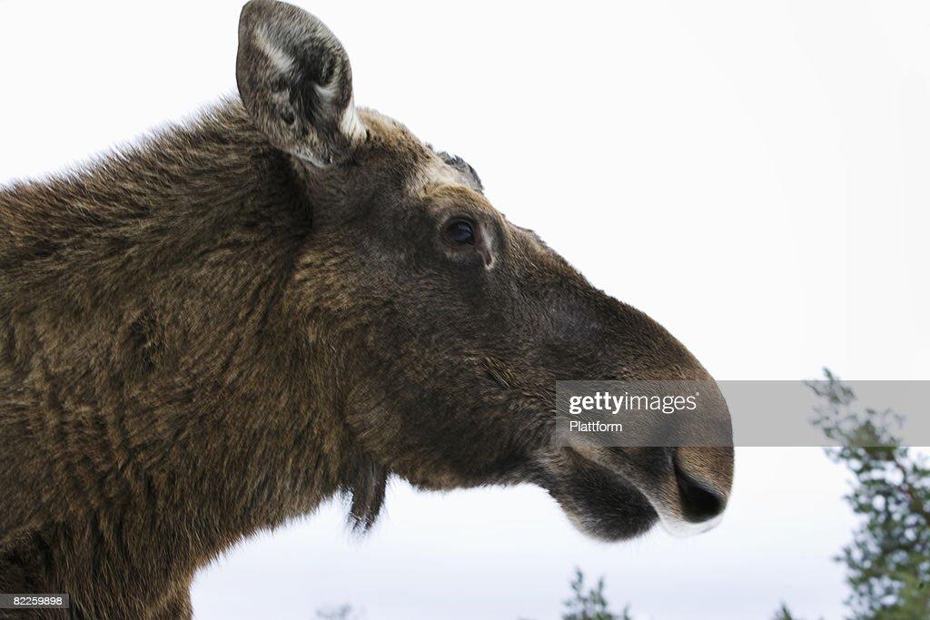 An elk close-up Lapland Sweden. : Stock Photo