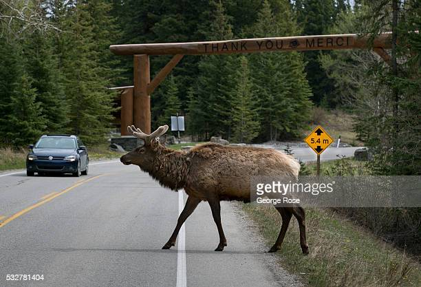 An elk crosses the Bow River Parkway on April 23 2016 in Banff Springs Alberta Canada Banff is Canada's oldest National Park and is located in the...