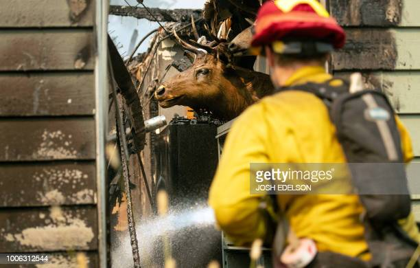 An elk head is seen mounted to a wall as a CalFire firefighter douses a burning home during the Carr fire in Redding California on July 27 2018 Two...