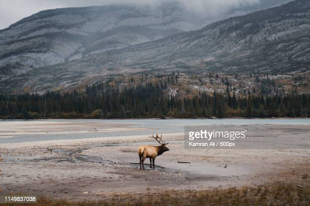 an elk in the jasper national park - canadian rockies stockfoto's en -beelden