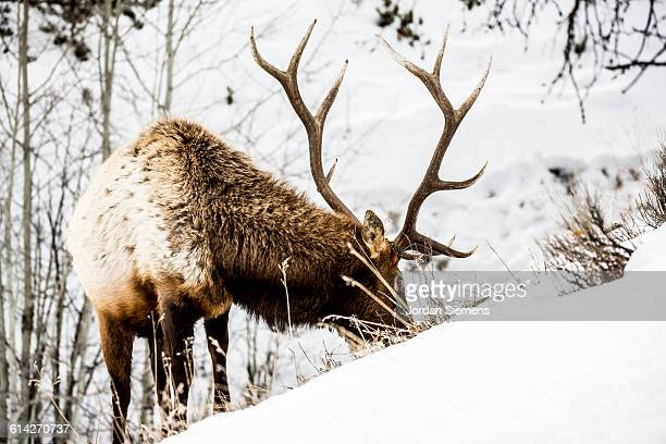 an elk in yellowstone. - bozeman stock pictures, royalty-free photos & images
