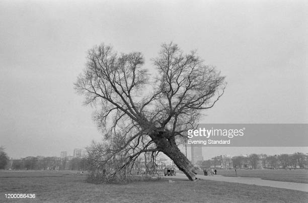 An elm tree toppled in Hyde Park London April 1976