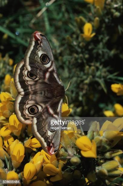 An Emperor Moth