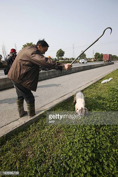 An employed villager prepares to drag a sick pig to a decontamination storage site in a town in Jiaxing municipality east China's Zhejiang province...