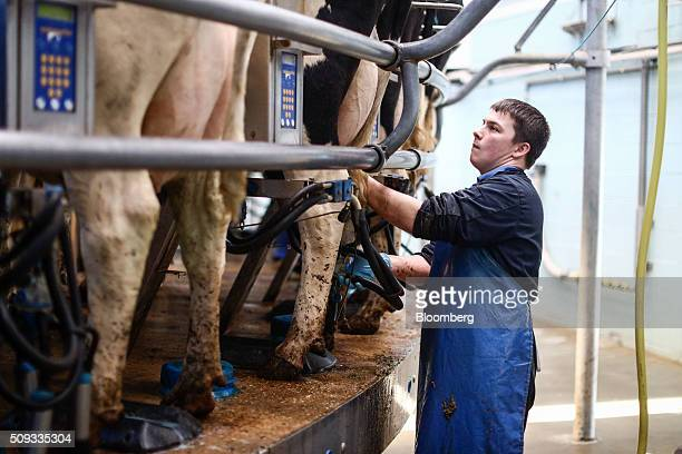 An employee adjusts milking pumps as dairy cows are milked on a rotary parlour at a farm that is part of the Agrimetrics project in Arborfield near...