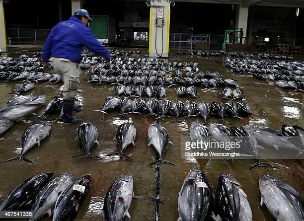 An employee arranges fresh tuna for auction at Kiikatuura fresh tuna market on February 7 2014 in Nachikatsuura Japan Kiikatsuura fresh tuna market...