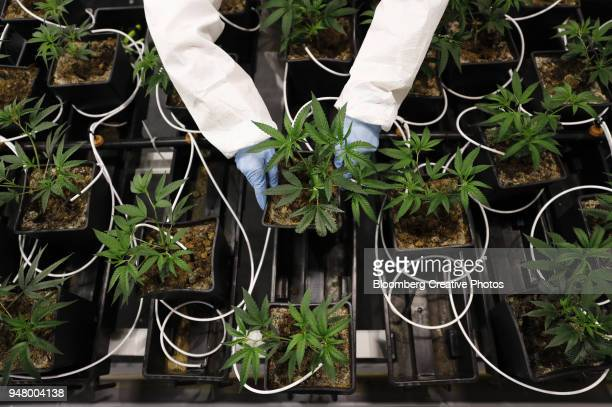 An employee arranges potted cannabis mother plants