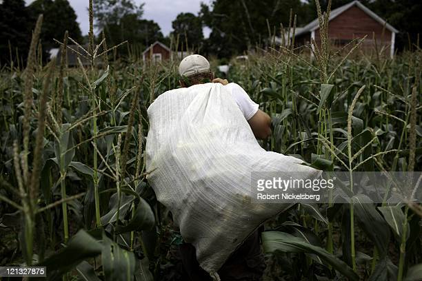 An employee carries a bag freshly picked sweat corn at the Clear Brook Organic Farm August 3, 2011 in Shaftsbury, Vermont. The 200-plus acre farm was...