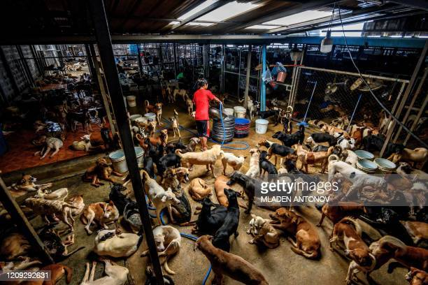 An employee cleans a crowded enclosure at Auntie Ju's shelter for stray dogs on the outskirts of Bangkok on April 6 where some 1500 canines rescued...