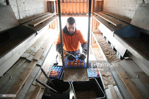 An employee collects eggs inside a mobile chicken shed at the Mulloon Creek Natural Farm in Bungendore Australia on Thursday July 30 2015 Australia's...