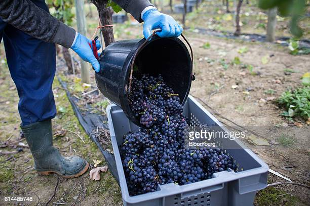 An employee empties Pinot Meunier grapes picked from the vineyard into a collection box at the Ridgeview Estate Winery in Sussex UK on Thursday Oct...