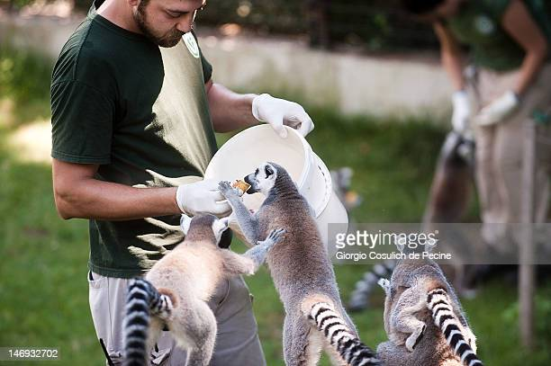 An employee feeds lemurs at the Rome Bioparco during lunch time on June 23 2012 in Rome Italy Over the last few days due to very high temperatures...