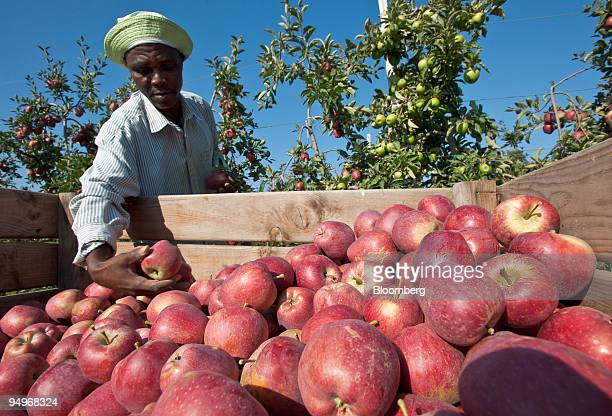 An employee from Equatorial Guinea places his harvested apples in a crate at a plantation in Sant Pere Pescador Spain on Thursday Sept 10 2009...