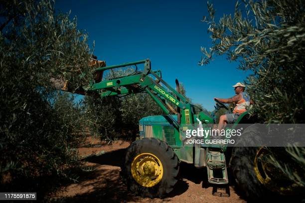An employee gathers olives during the olive picking season in Antequera on October 9, 2019. - Farmers had just begun harvesting olives in southern...